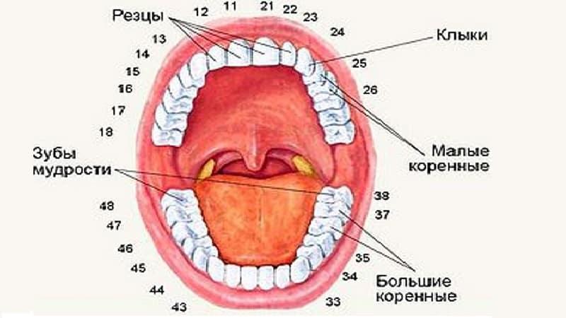 Какие бывают зубы