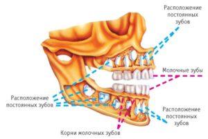 Молочные и постоянные коренные зубы