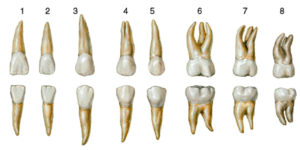 Анатомия зубов общие понятия