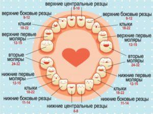 Сроки прорезывания зубов, когда режутся молочные зубы