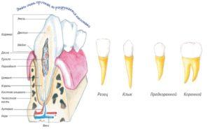 Анатомия отдельно взятого зуба