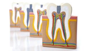 Зубы человека - строение, анатомия зуба, как устроен зуб
