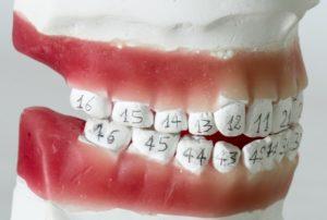Строение зубов нижней челюсти